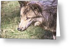 Gray Wolf Grey Wolf Canis Lupus Greeting Card