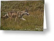 Gray Wolf Hunting Greeting Card