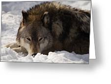 Gray Wolf In Snow Greeting Card