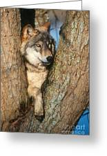 Gray Wolf In Tree Canis Lupus Greeting Card
