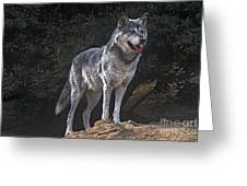 Gray Wolf On Hillside Endangered Species Wildlife Rescue Greeting Card