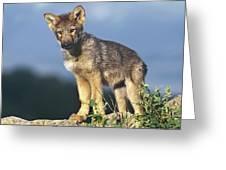 Gray Wolf Pup Montana Greeting Card
