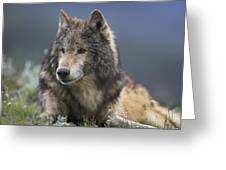 Gray Wolf Resting North America Greeting Card