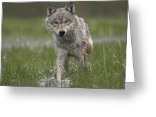 Gray Wolf Walking Through Water Greeting Card
