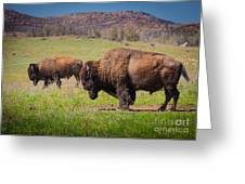 Grazing Bison Greeting Card