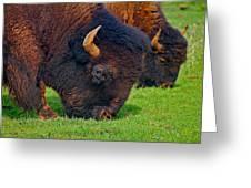 Grazing Buffaloes Greeting Card