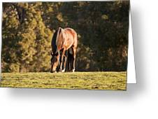 Grazing Horse At Sunset Greeting Card