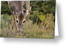 Grazing Oklahoma Greeting Card