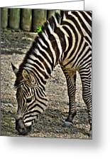 Grazing Zebra At The Buffalo Zoo 2 Greeting Card