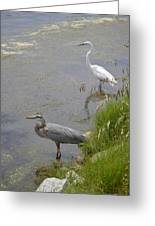 Great Blue And White Egrets Greeting Card