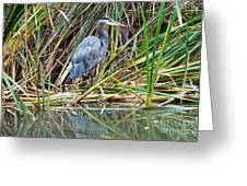 Great Blue Heron 9 Greeting Card