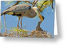 Great Blue Heron Adult Feeding Nestling Greeting Card