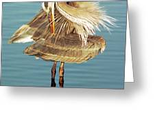 Great Blue Heron Ardea Herodias Preening Greeting Card
