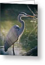 Great Blue Heron At Sunset  Greeting Card