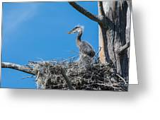 Great Blue Heron Chick Greeting Card