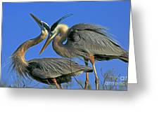 Great Blue Heron Courting Pair Greeting Card