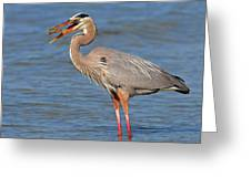 Great Blue Heron Flipping A Shrimp Greeting Card