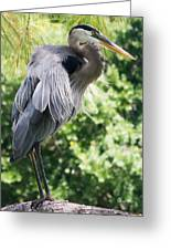 Great Blue Heron IIi Greeting Card