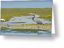 Great Blue Heron In Florida Greeting Card