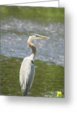 Great Blue Heron In Light  Greeting Card