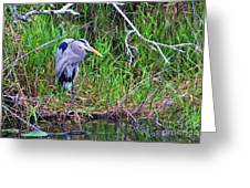 Great Blue Heron In Nature Greeting Card
