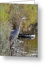 Great Blue Heron - Juvenile Greeting Card