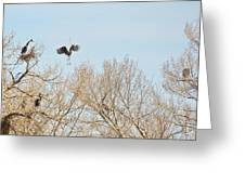 Great Blue Heron Nest Building 2 Panorama View Greeting Card