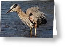 Great Blue Heron Preening Greeting Card
