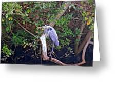 Great Blue Heron Resting Greeting Card