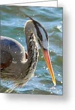 Great Blue Heron Splish Splash Greeting Card