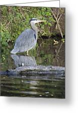 Great Blue Heron Standing In Water Greeting Card