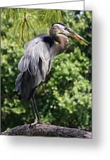 Great Blue Heron Vii Greeting Card