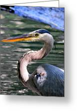 Great Blue Heron Whiskers Greeting Card