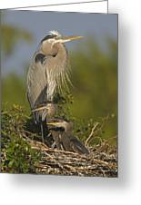 Great Blue Heron With Chicks Florida Greeting Card