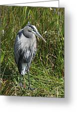 Great Blue Waiting For Prey Greeting Card