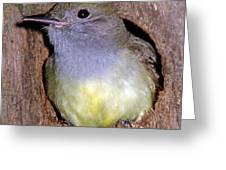 Great Crested Flycatcher In Nest Cavity Greeting Card