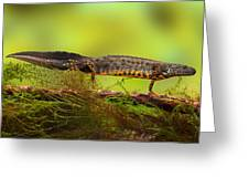 Great Crested Newt Or Water Dragon Greeting Card