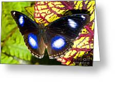 Great Eggfly Butterfly Greeting Card