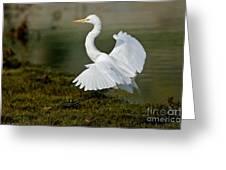 Great Egret Alighting Greeting Card