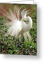 Great Egret Courtship Display Greeting Card