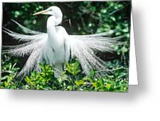 Great Egret Displaying Breeding Plumage Greeting Card