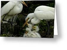 Great Egret Family 2 Greeting Card