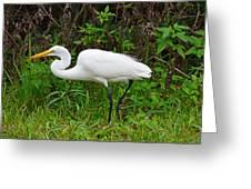 Great Egret Feeding Greeting Card