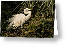 Great Egret In Breeding Plumage Greeting Card