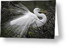 Great Egret Preening Greeting Card