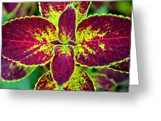 Great Expectations Coleus Greeting Card