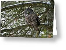Great Gray Owl Pictures 780 Greeting Card