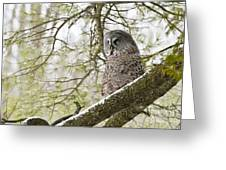 Great Gray Owl Pictures 804 Greeting Card