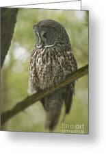 Great Gray Owl Pictures 823 Greeting Card