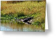 Great Herons Wading Near Alligator Sunning Greeting Card
